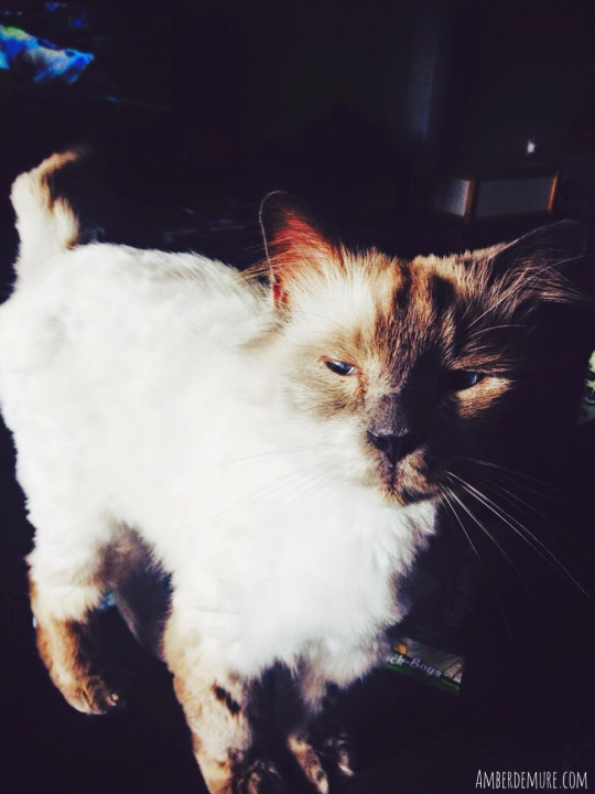 siamese-ragdoll-cat